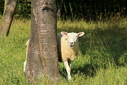 sheep tree landscape