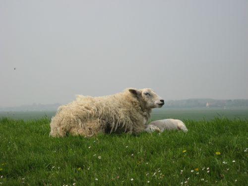 sheep lamb dyke