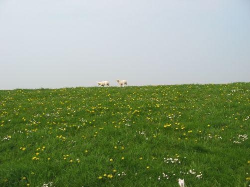 sheep dyke west frisian