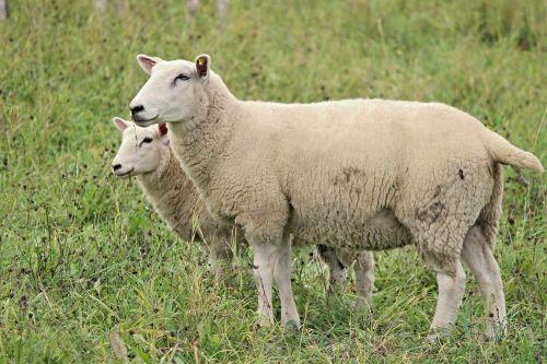 sheep wool fur