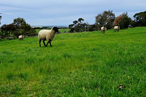 sheep pasture rolling meadows