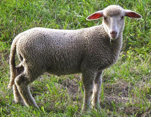 sheep young sheep meadow