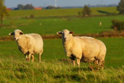 sheep dike grass