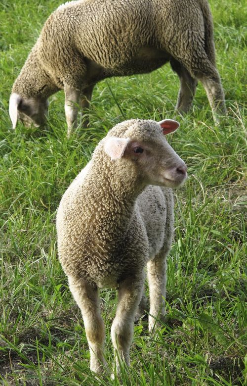 sheep young sheep flock