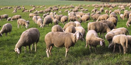 sheep flock pfrech