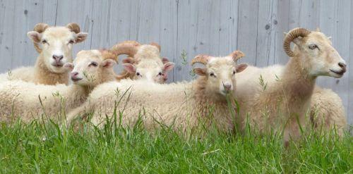 sheep wood grass