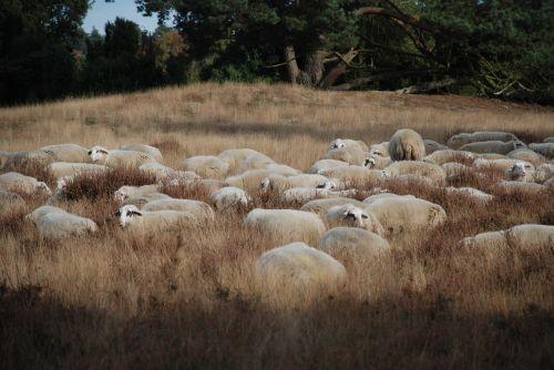 sheep heide flock