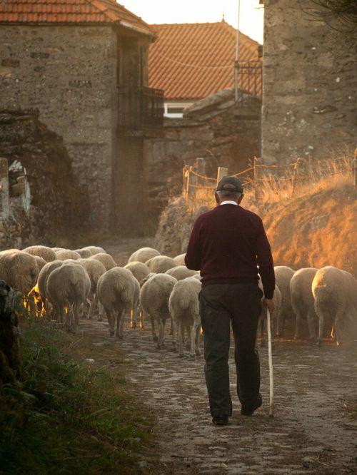 sheep farmer rural
