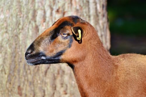 sheep animals sheep's wool