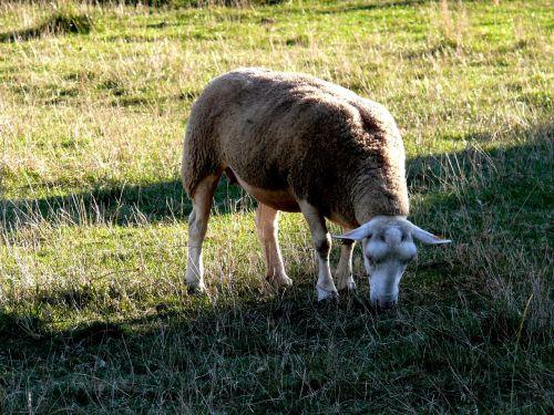 sheep field herbage