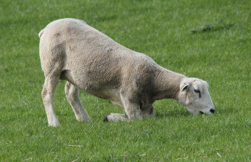 sheep deichschaf graze