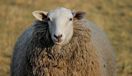 sheep livestock head