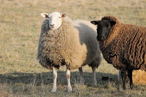 sheep livestock two sheep