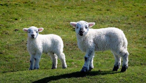 sheep  lamb  good