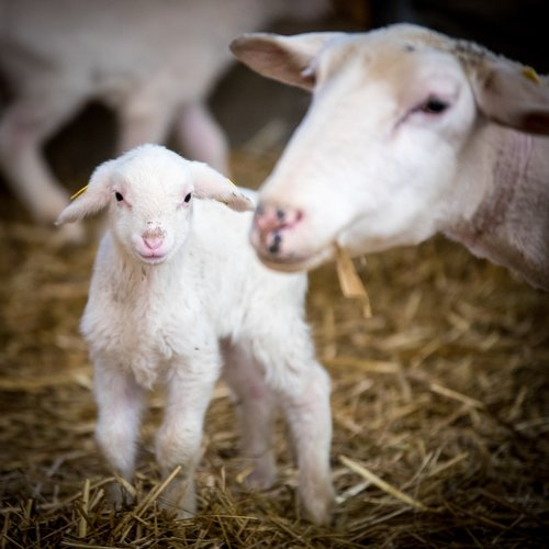 sheep  livestock  wool