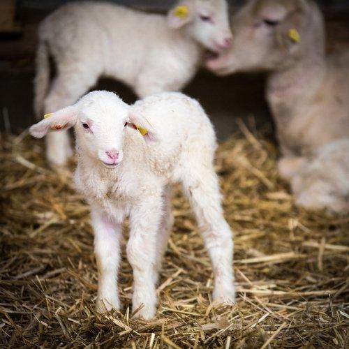 sheep  sheep breeding  lamb