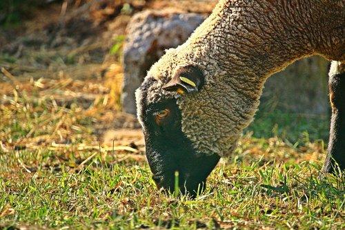 sheep  livestock  merino