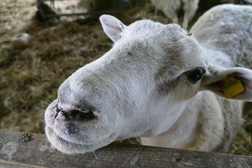 sheep  farm  animal