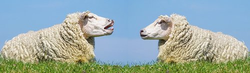 sheep  communication  discuss
