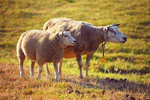 sheep  animal  mammal