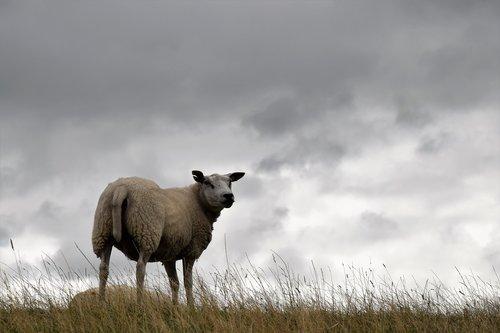 sheep  zeedijk  friesland