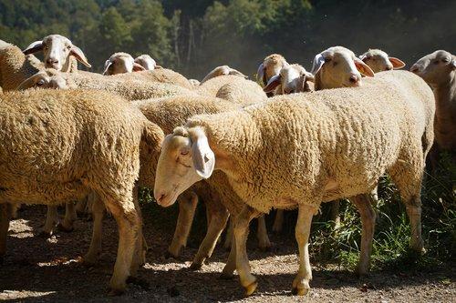 sheep  flock of sheep  pasture