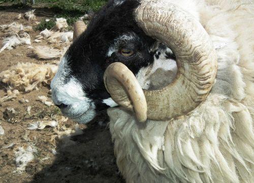 sheep wool ram