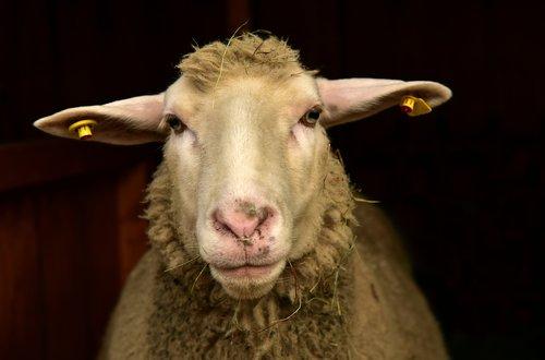 sheep  frontal  portrait