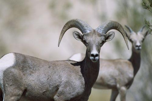 sheep bighorn female