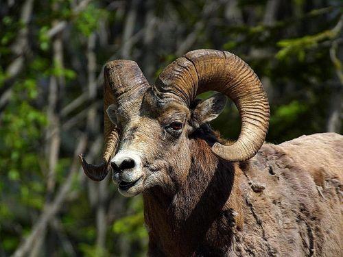 sheep bighorn mountain