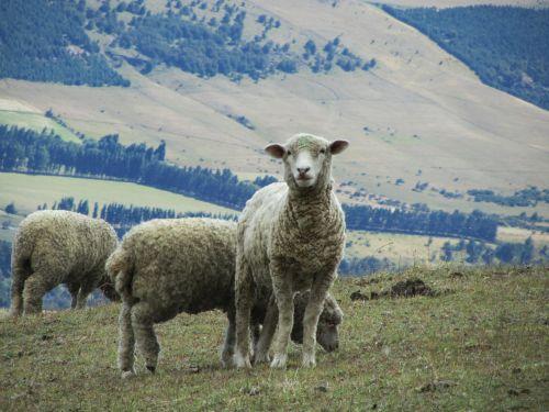 sheep lamb wool