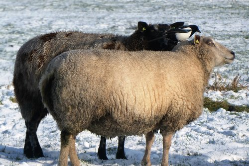 sheep  magpie  snow