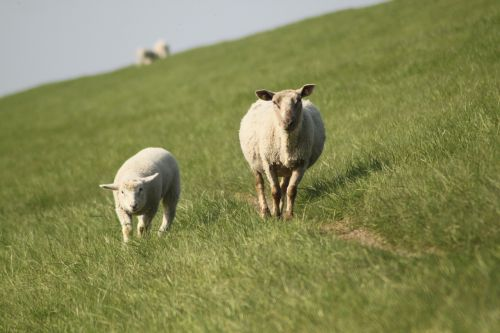 sheep dyke lamb animal