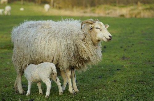 sheep  mother sheep  lamb