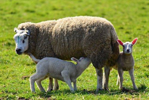 sheep  ewe  lamb