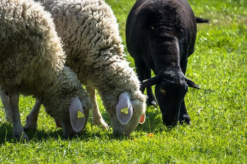 sheep  graze  black sheep