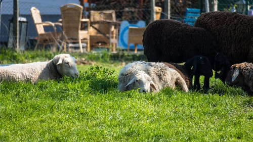 sheep  rest  concerns