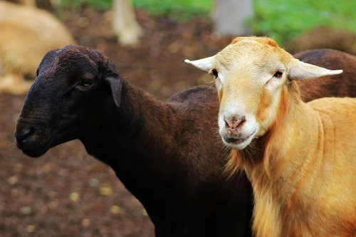 sheep  goat  ruminant