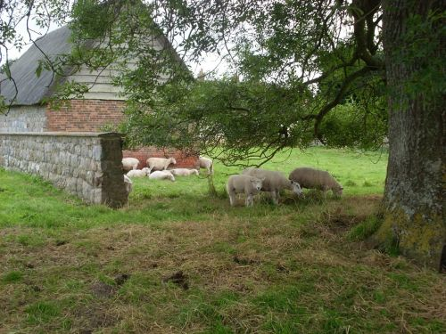 sheep farm animals farm