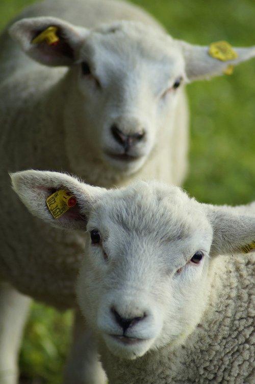 sheep  double  steiff