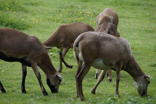 sheep flock of sheep cameroon sheep