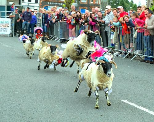 sheep race racing