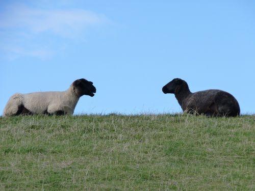 sheep wool east frisia