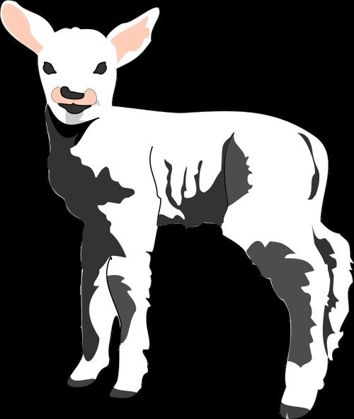 sheep baby lamb
