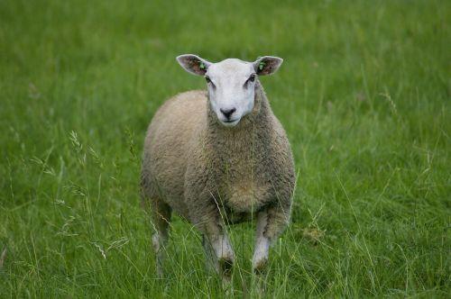 sheep loan cute