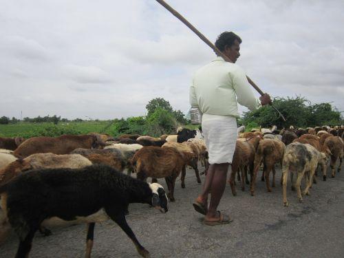 sheep man herding