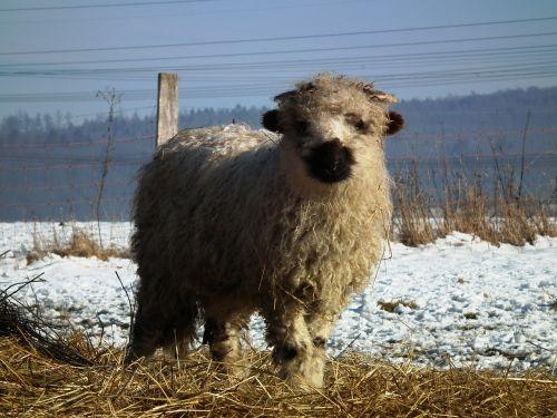 sheep lamb walliser black nose