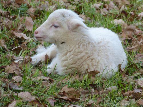 sheep lamb small