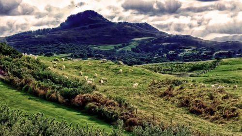 sheep mountain sheeps creature