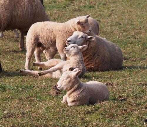 sheep lamb schäfchen